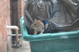 Уничтожение крыс киев