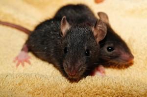обработка квартир от мышей